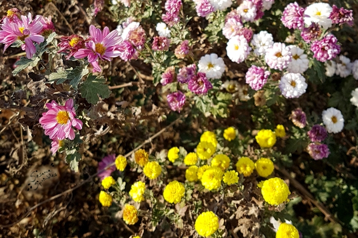 Pink, white and yellow chrysanthemums in fall.