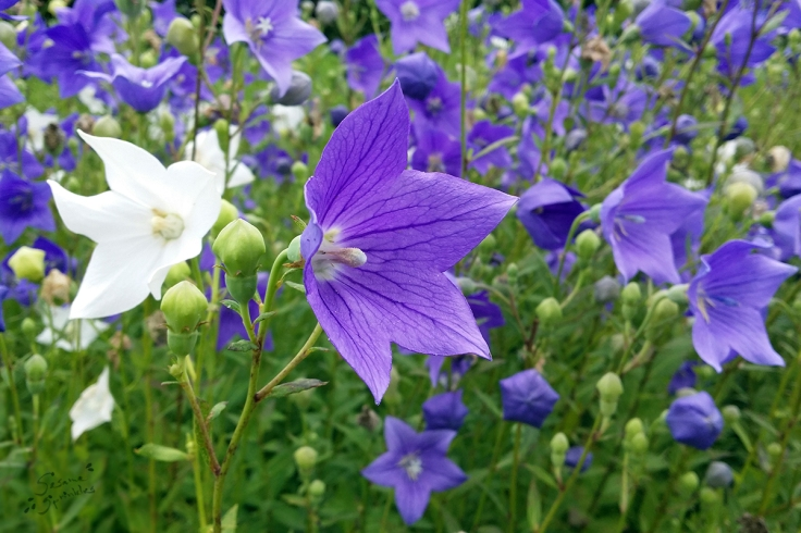 Purple and white blossoms of Chinese bellflower