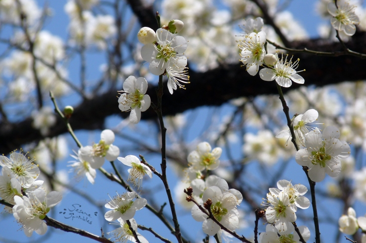White Maehwa flowers