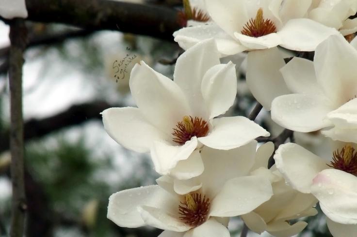 White flowers of magnolia in rain